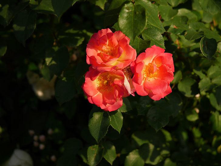 スヴニール・ドゥ・アンネ・フランク(木立バラ)の花がオレンジになった。2020年-6.jpg