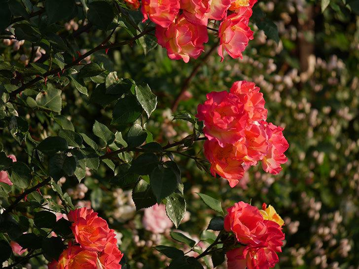 スヴニール・ドゥ・アンネ・フランク(木立バラ)の花がオレンジになった。2020年-9.jpg