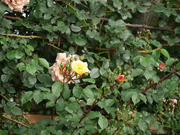 スヴニール・ドゥ・アンネ・フランク(木立バラ)の花が咲いた。2020年-2.jpg