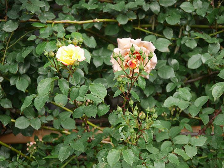 スヴニール・ドゥ・アンネ・フランク(木立バラ)の花が咲いた。2020年-6.jpg