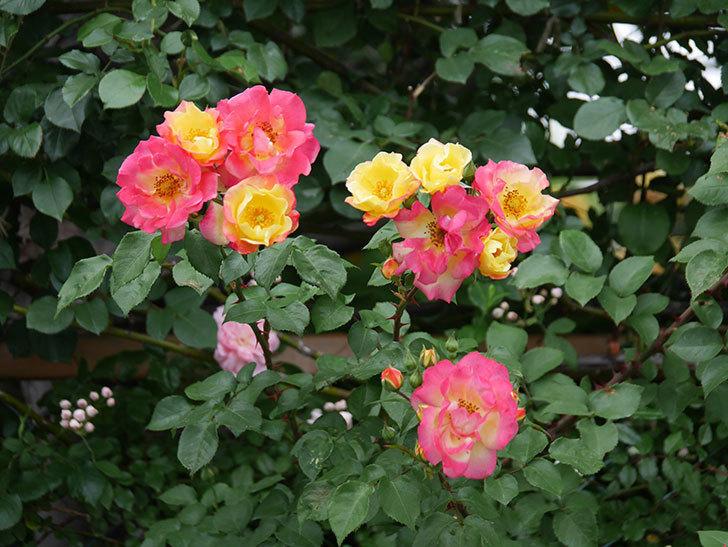 スヴニール・ドゥ・アンネ・フランク(木立バラ)の花が増えてきた。2020年-1.jpg