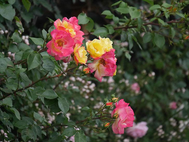 スヴニール・ドゥ・アンネ・フランク(木立バラ)の花が増えてきた。2020年-2.jpg