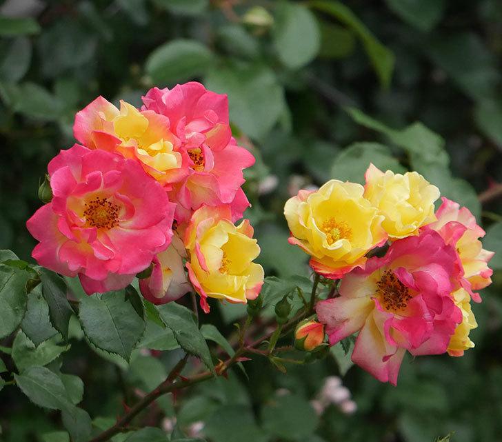 スヴニール・ドゥ・アンネ・フランク(木立バラ)の花が増えてきた。2020年-3.jpg