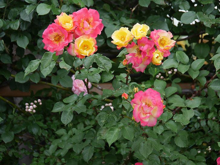 スヴニール・ドゥ・アンネ・フランク(木立バラ)の花が増えてきた。2020年-4.jpg