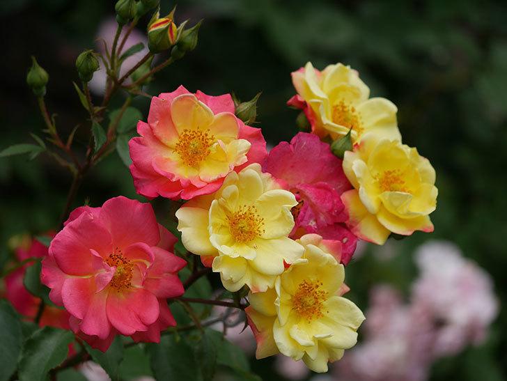 スヴニール・ドゥ・アンネ・フランク(木立バラ)の花が増えて来た。2019年-1.jpg