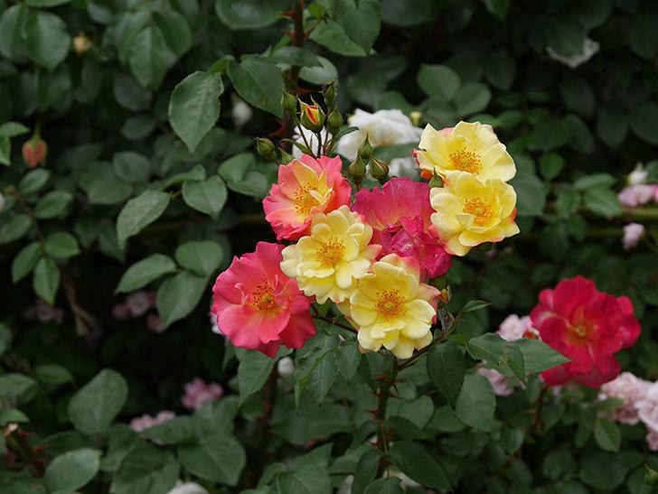 スヴニール・ドゥ・アンネ・フランク(木立バラ)の花が増えて来た。2019年-10.jpg