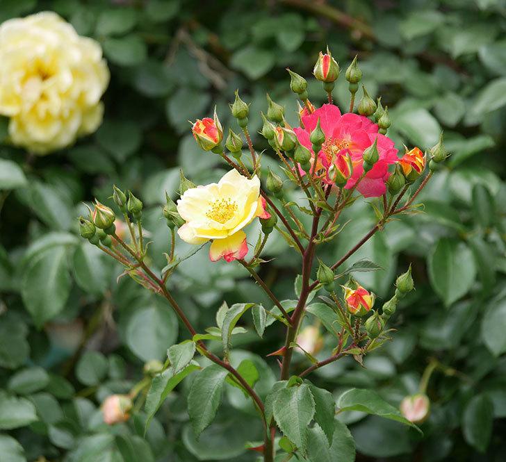 スヴニール・ドゥ・アンネ・フランク(木立バラ)の花が増えて来た。2019年-11.jpg