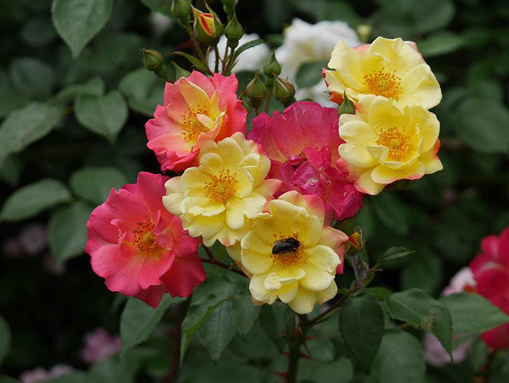 スヴニール・ドゥ・アンネ・フランク(木立バラ)の花が増えて来た。2019年-12.jpg