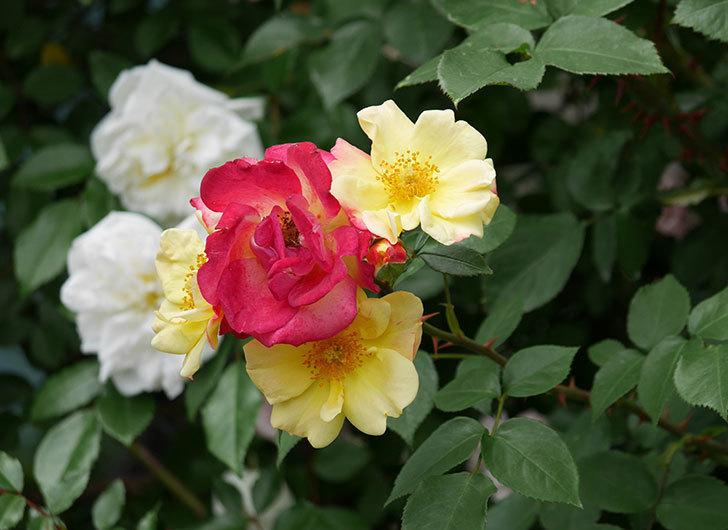 スヴニール・ドゥ・アンネ・フランク(木立バラ)の花が増えて来た。2019年-13.jpg
