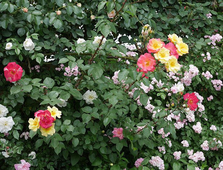 スヴニール・ドゥ・アンネ・フランク(木立バラ)の花が増えて来た。2019年-14.jpg