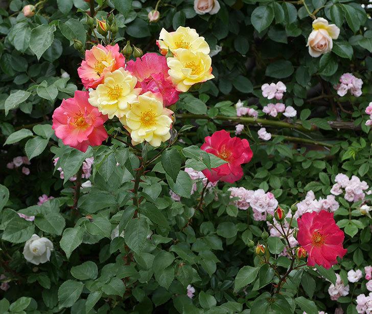 スヴニール・ドゥ・アンネ・フランク(木立バラ)の花が増えて来た。2019年-15.jpg
