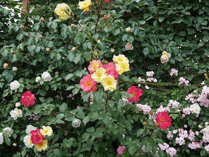 スヴニール・ドゥ・アンネ・フランク(木立バラ)の花が増えて来た。2019年-16.jpg