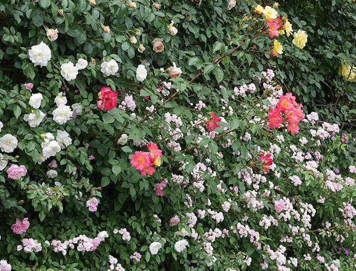 スヴニール・ドゥ・アンネ・フランク(木立バラ)の花が増えて来た。2019年-17.jpg