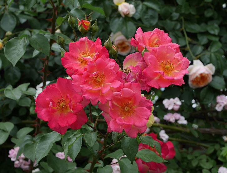 スヴニール・ドゥ・アンネ・フランク(木立バラ)の花が増えて来た。2019年-19.jpg