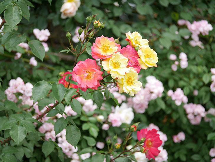スヴニール・ドゥ・アンネ・フランク(木立バラ)の花が増えて来た。2019年-2.jpg