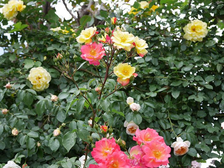 スヴニール・ドゥ・アンネ・フランク(木立バラ)の花が増えて来た。2019年-20.jpg