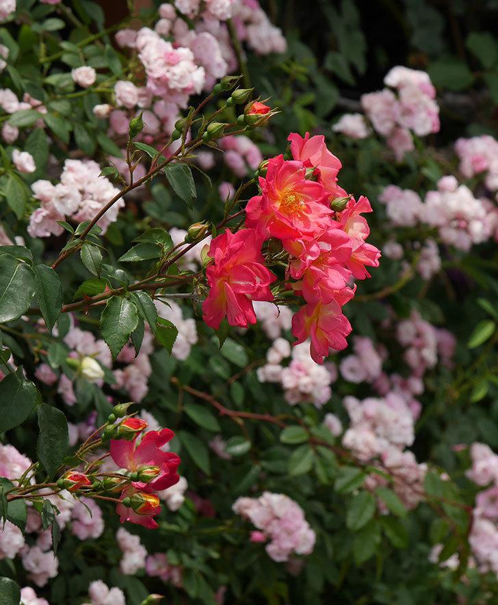 スヴニール・ドゥ・アンネ・フランク(木立バラ)の花が増えて来た。2019年-21.jpg