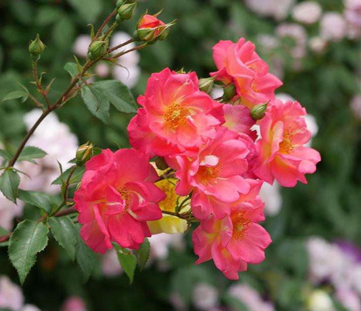 スヴニール・ドゥ・アンネ・フランク(木立バラ)の花が増えて来た。2019年-22.jpg