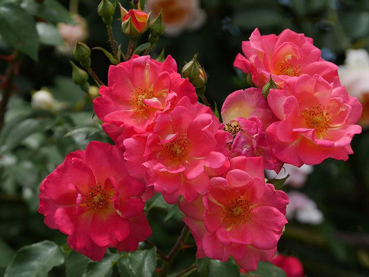 スヴニール・ドゥ・アンネ・フランク(木立バラ)の花が増えて来た。2019年-23.jpg