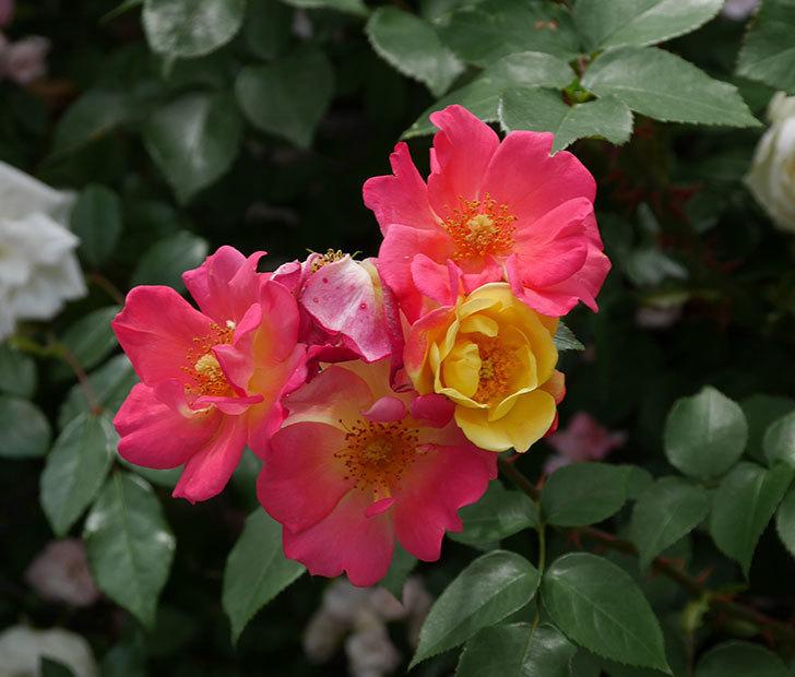 スヴニール・ドゥ・アンネ・フランク(木立バラ)の花が増えて来た。2019年-24.jpg
