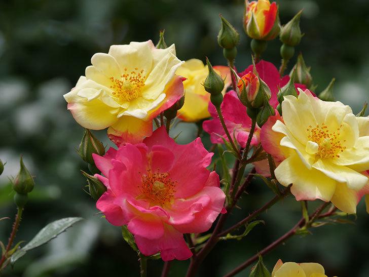 スヴニール・ドゥ・アンネ・フランク(木立バラ)の花が増えて来た。2019年-25.jpg