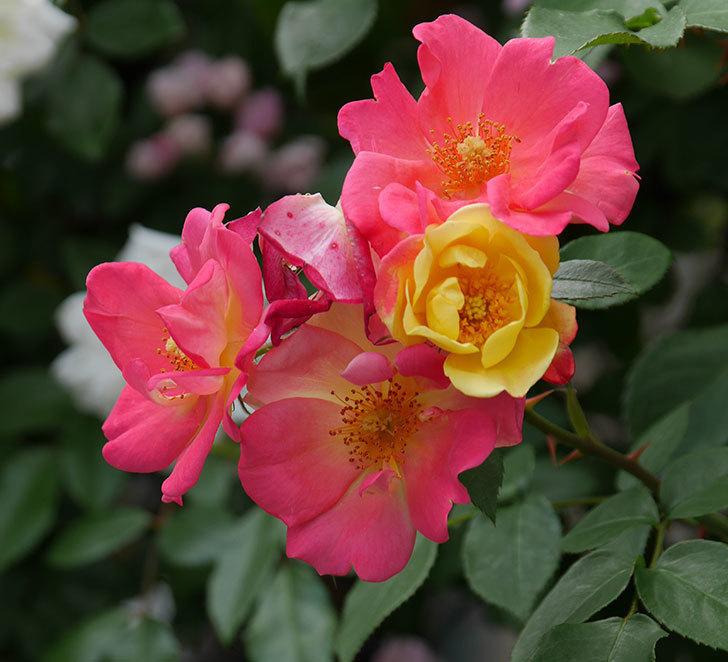 スヴニール・ドゥ・アンネ・フランク(木立バラ)の花が増えて来た。2019年-26.jpg