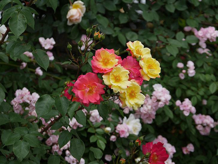 スヴニール・ドゥ・アンネ・フランク(木立バラ)の花が増えて来た。2019年-3.jpg