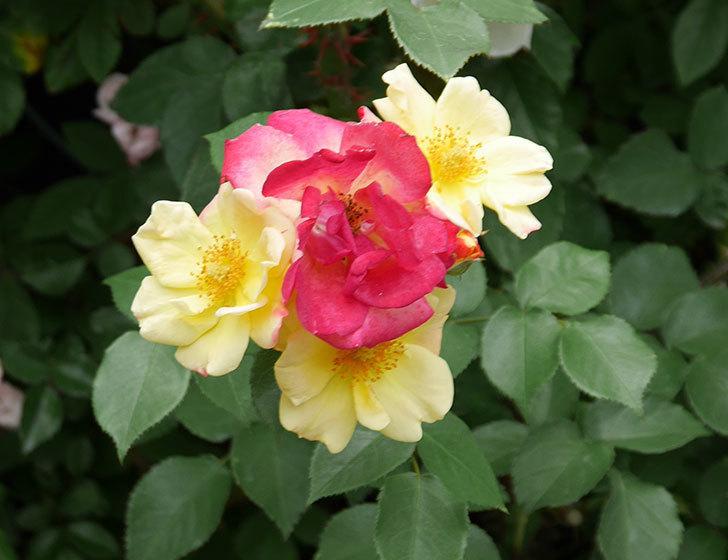 スヴニール・ドゥ・アンネ・フランク(木立バラ)の花が増えて来た。2019年-4.jpg