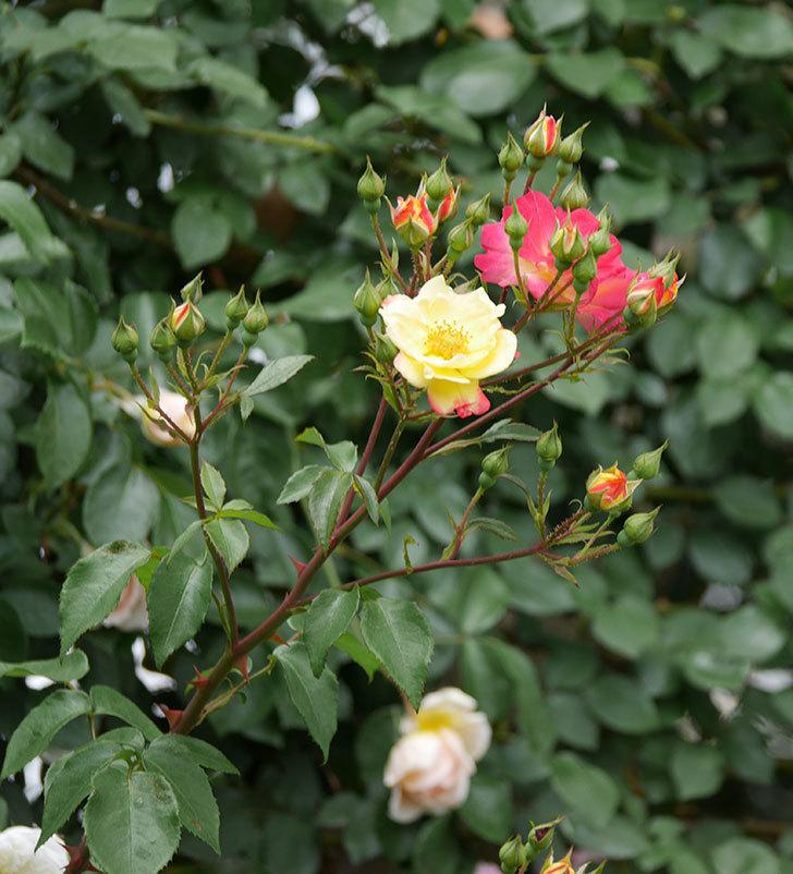 スヴニール・ドゥ・アンネ・フランク(木立バラ)の花が増えて来た。2019年-5.jpg