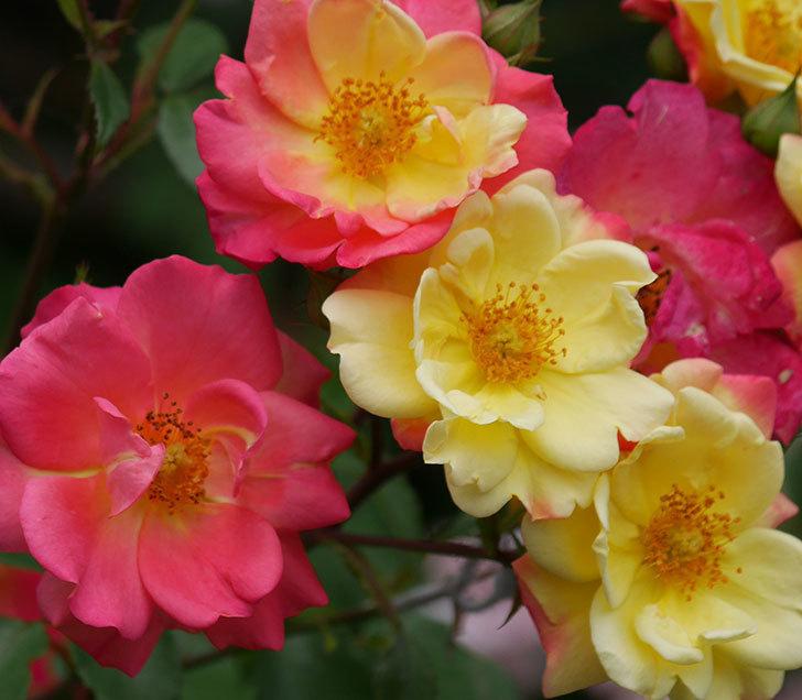 スヴニール・ドゥ・アンネ・フランク(木立バラ)の花が増えて来た。2019年-6.jpg