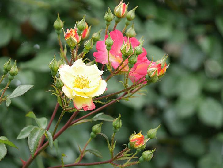 スヴニール・ドゥ・アンネ・フランク(木立バラ)の花が増えて来た。2019年-7.jpg