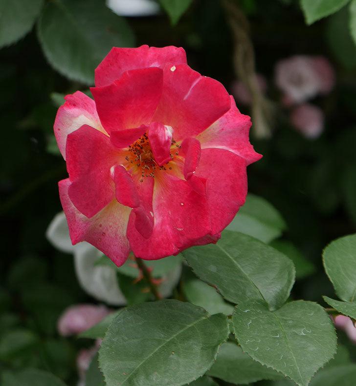 スヴニール・ドゥ・アンネ・フランク(木立バラ)の花が増えて来た。2019年-8.jpg