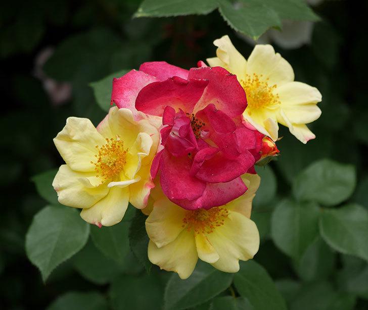 スヴニール・ドゥ・アンネ・フランク(木立バラ)の花が増えて来た。2019年-9.jpg