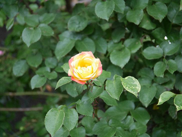 スヴニール・ドゥ・アンネ・フランク(Souvenir d'Anne Frank)の花が咲いた。木立バラ。2021年-001.jpg