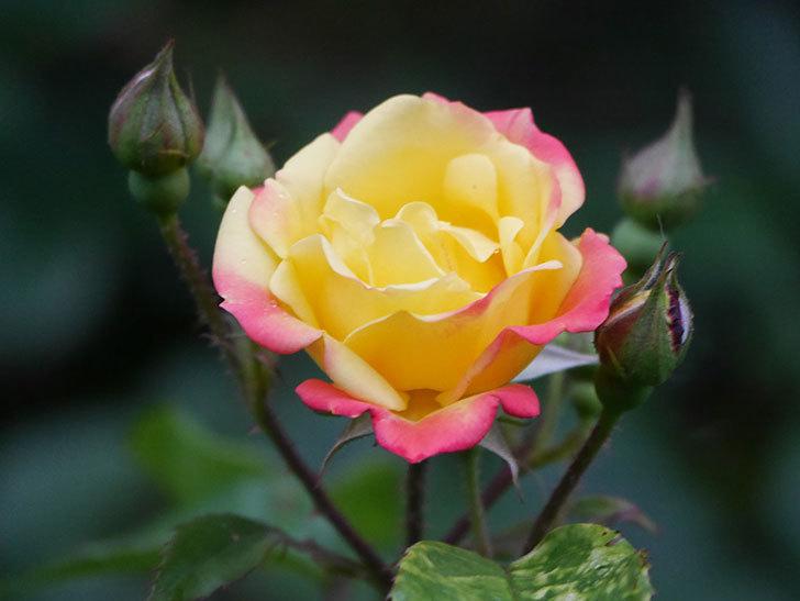 スヴニール・ドゥ・アンネ・フランク(Souvenir d'Anne Frank)の花が咲いた。木立バラ。2021年-003.jpg
