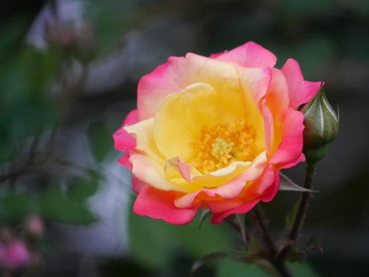スヴニール・ドゥ・アンネ・フランク(Souvenir d'Anne Frank)の花が咲いた。木立バラ。2021年-004.jpg