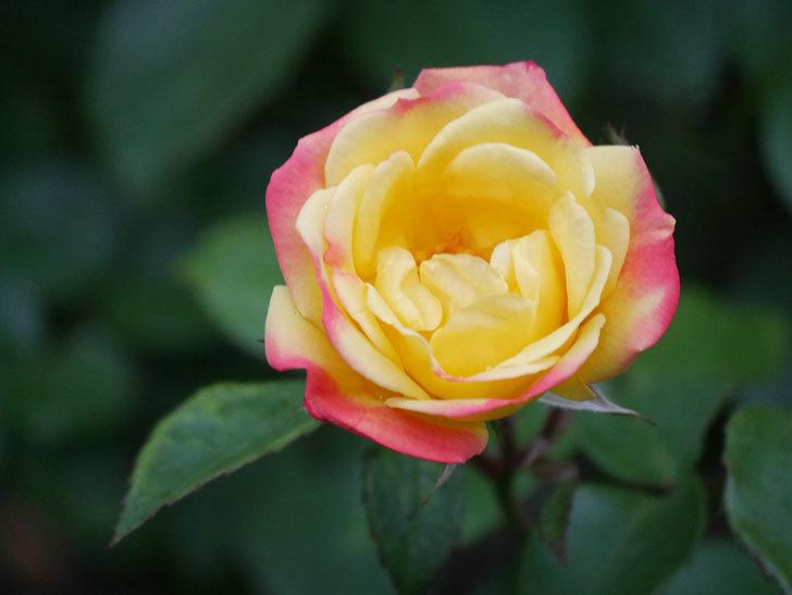 スヴニール・ドゥ・アンネ・フランク(Souvenir d'Anne Frank)の花が咲いた。木立バラ。2021年-005.jpg