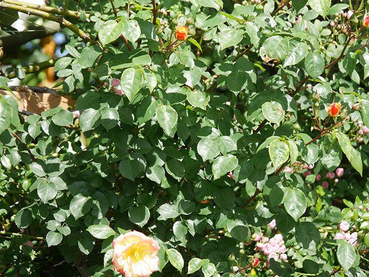 スヴニール・ドゥ・アンネ・フランク(Souvenir d'Anne Frank)の花が咲いた。木立バラ。2021年-007.jpg