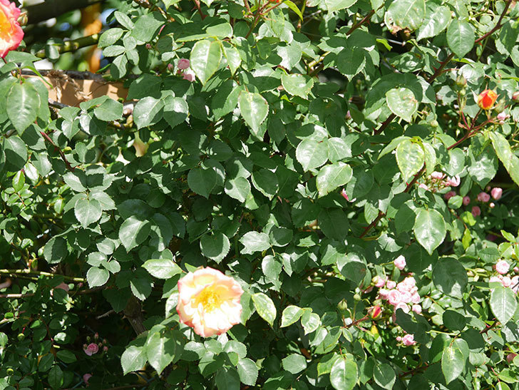 スヴニール・ドゥ・アンネ・フランク(Souvenir d'Anne Frank)の花が咲いた。木立バラ。2021年-008.jpg