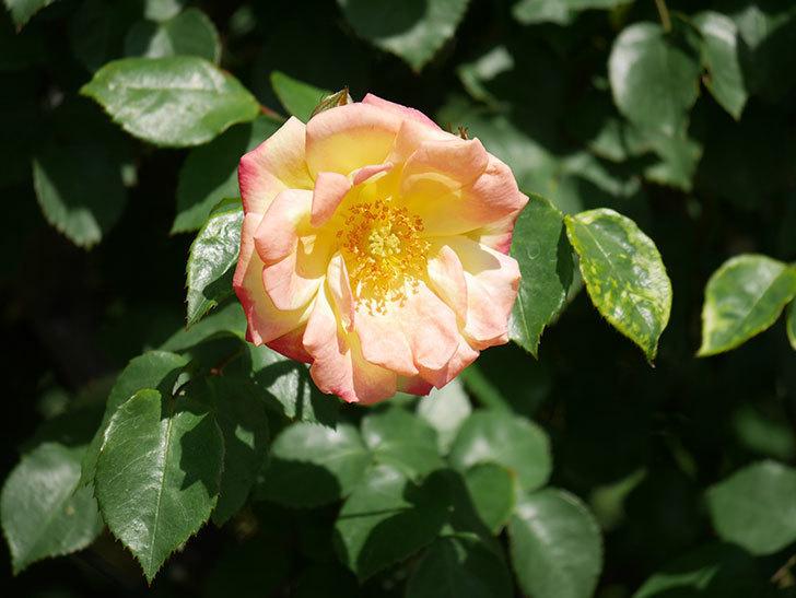 スヴニール・ドゥ・アンネ・フランク(Souvenir d'Anne Frank)の花が咲いた。木立バラ。2021年-009.jpg