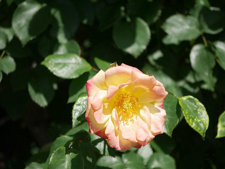 スヴニール・ドゥ・アンネ・フランク(Souvenir d'Anne Frank)の花が咲いた。木立バラ。2021年-010.jpg