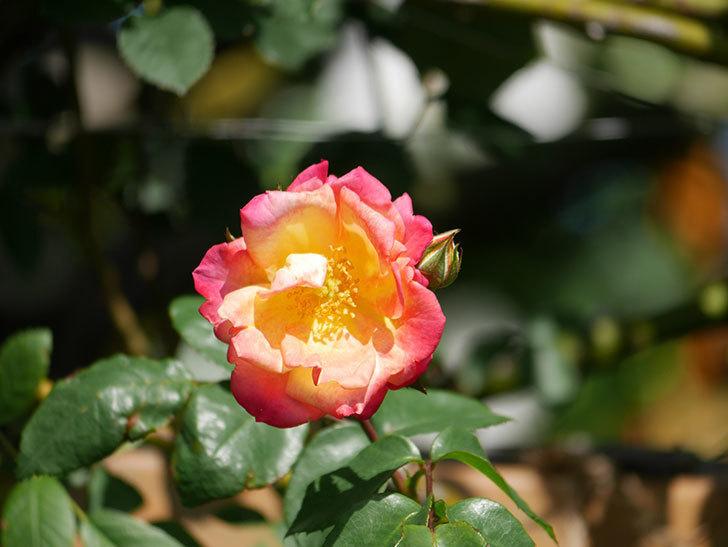 スヴニール・ドゥ・アンネ・フランク(Souvenir d'Anne Frank)の花が咲いた。木立バラ。2021年-012.jpg