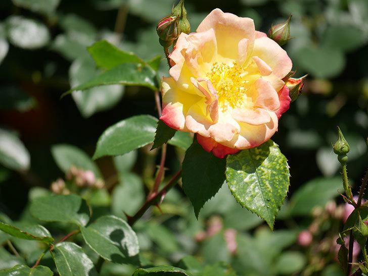 スヴニール・ドゥ・アンネ・フランク(Souvenir d'Anne Frank)の花が咲いた。木立バラ。2021年-013.jpg