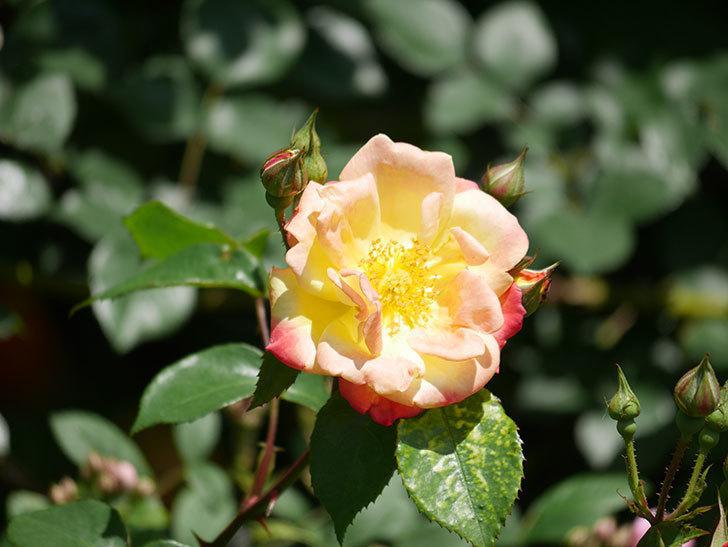 スヴニール・ドゥ・アンネ・フランク(Souvenir d'Anne Frank)の花が咲いた。木立バラ。2021年-014.jpg