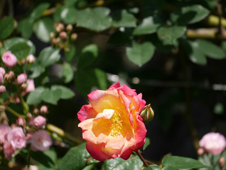 スヴニール・ドゥ・アンネ・フランク(Souvenir d'Anne Frank)の花が咲いた。木立バラ。2021年-021.jpg
