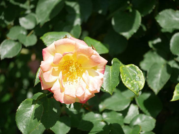 スヴニール・ドゥ・アンネ・フランク(Souvenir d'Anne Frank)の花が咲いた。木立バラ。2021年-022.jpg
