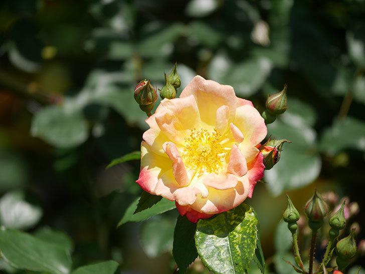 スヴニール・ドゥ・アンネ・フランク(Souvenir d'Anne Frank)の花が咲いた。木立バラ。2021年-023.jpg