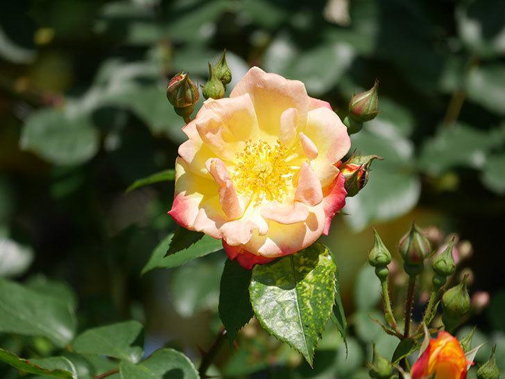 スヴニール・ドゥ・アンネ・フランク(Souvenir d'Anne Frank)の花が咲いた。木立バラ。2021年-024.jpg