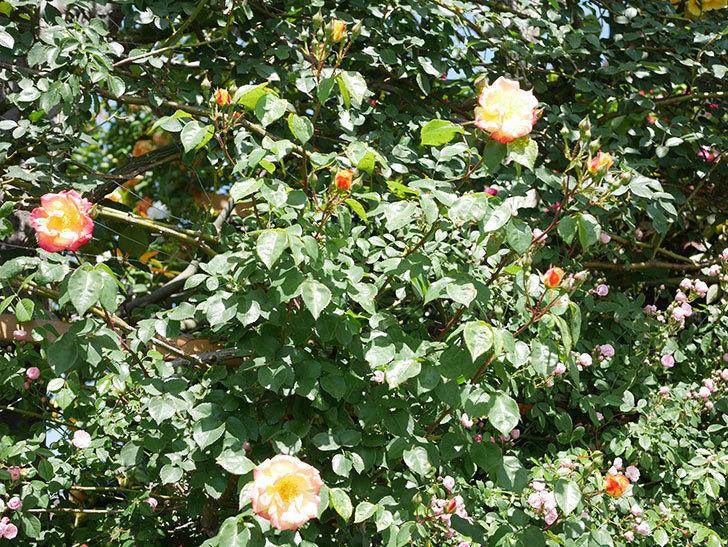 スヴニール・ドゥ・アンネ・フランク(Souvenir d'Anne Frank)の花が咲いた。木立バラ。2021年-026.jpg