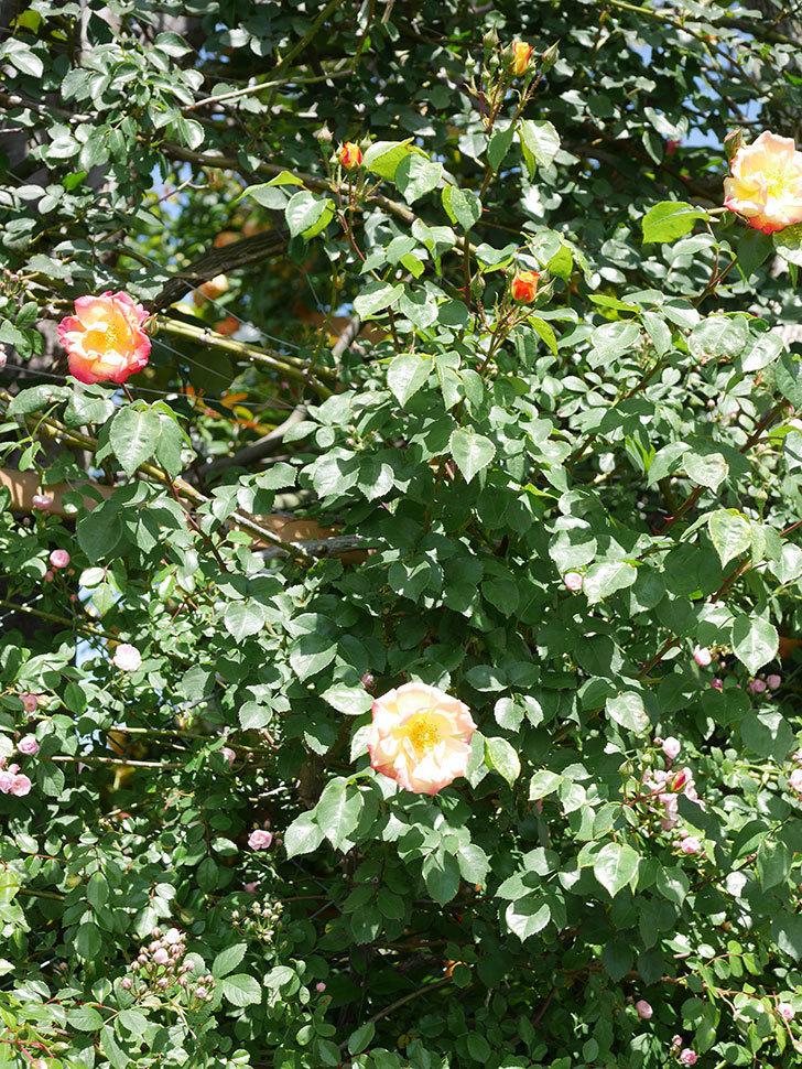 スヴニール・ドゥ・アンネ・フランク(Souvenir d'Anne Frank)の花が咲いた。木立バラ。2021年-027.jpg